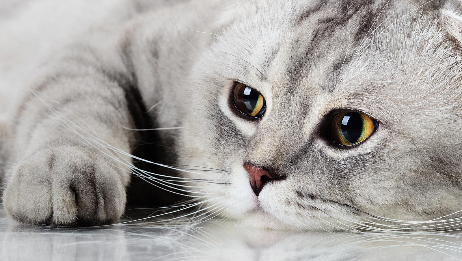 kattentrimster